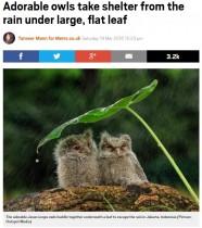 フクロウが葉っぱの下で雨宿り(インドネシア)