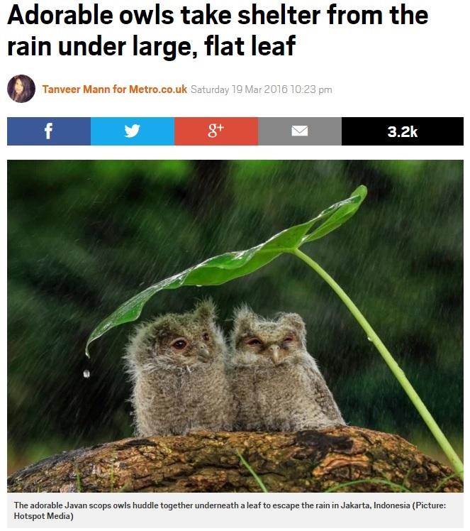 雨宿りするフクロウの貴重なショット(出典:http://metro.co.uk)