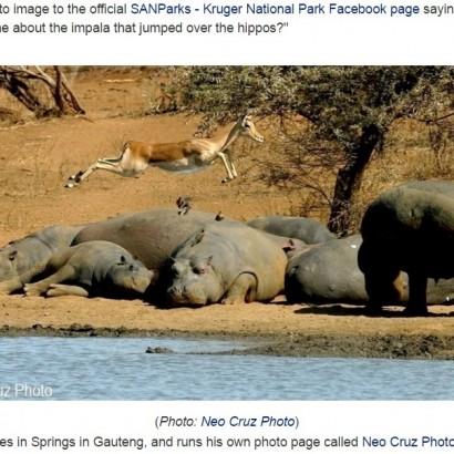 【海外発!Breaking News】絶妙な瞬間をキャッチ インパラが7頭のカバを飛び越える!?(南ア)