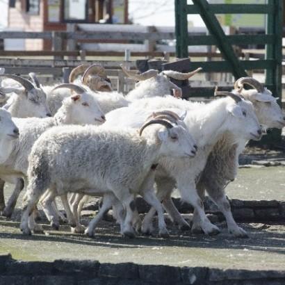 【海外発!Breaking News】南アフリカで頻発する家畜泥棒 懲役80年の刑も