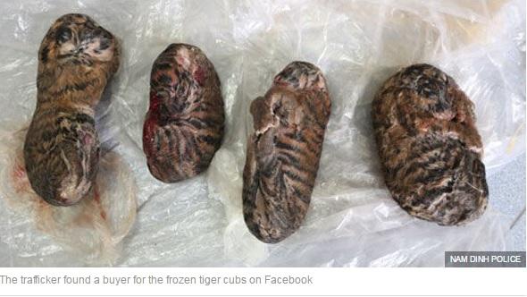 【海外発!Breaking News】トラの赤ちゃん、冷凍されSNSで販売(ベトナム)<閲覧注意>