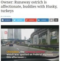 【海外発!Breaking News】高速道路を突っ走るダチョウ(マレーシア)