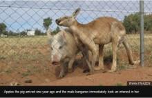 【海外発!Breaking News】カンガルーが豚と交尾 2頭は相思相愛(豪)