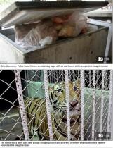 【海外発!Breaking News】動物虐待の場と化した寺院 トラへの虐待 食用として出荷も(タイ)