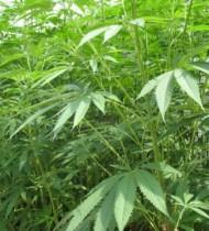 【海外発!Breaking News】自宅で栽培した大麻を父親に焼却され息子が逆ギレ「俺の大麻を親父が燃やしてしまったんだ」と警察に通報(豪)