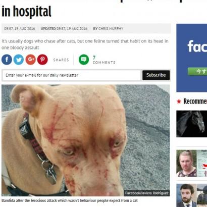 【海外発!Breaking News】ネコが本気で怒った! ピットブル顔面血まみれに(カナダ)