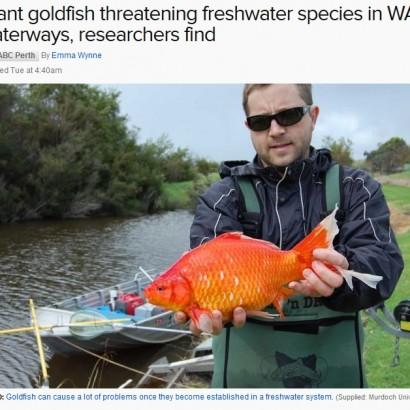 【海外発!Breaking News】重さは2キロ! 川に捨てられた金魚が超巨大化(豪)