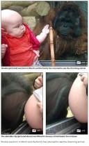 【海外発!Breaking News】妊婦が大好きなオランウータン ガラス越しにお腹にキスも(英)