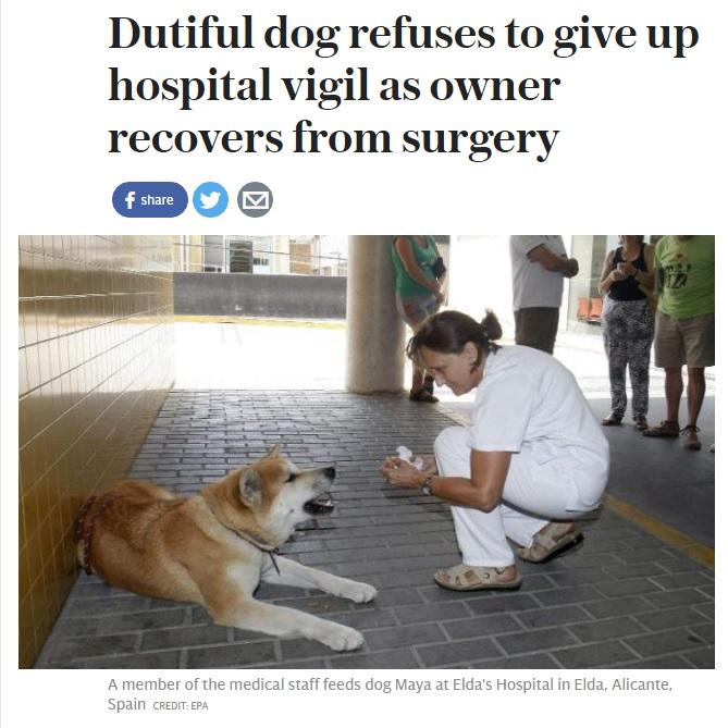 病院前で飼い主の回復を待つ秋田犬(出典:http://www.telegraph.co.uk)