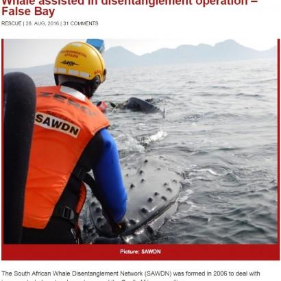 """【海外発!Breaking News】ロープに絡まっていたクジラ、救助隊に助けられ""""感謝""""の行動に(南ア)"""