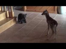【海外発!Breaking News】保護された子グマ 小鹿との初顔合わせが「ディズニー映画のよう」(米)<動画あり>