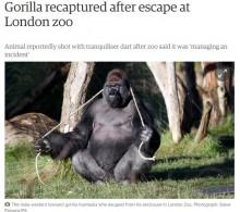 【海外発!Breaking News】ロンドン動物園でゴリラが飼育舎から脱走 直前に「ここから出たい」と意思表示か