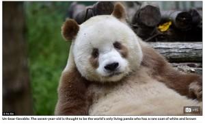 【海外発!Breaking News】世界に1頭 茶色×白のパンダが7歳に 繁殖も計画中(中国)