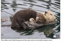 【海外発!Breaking News】赤ちゃんラッコをお腹の上で抱きしめる母(米)