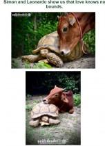 【海外発!Breaking News】脚の不自由な子牛、ケヅメリクガメと親友に いたわり合う日々(タイ)