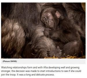 【海外発!Breaking News】帝王切開で生まれ病弱だったゴリラの赤ちゃん、元気になって新しいママにべったり(英)