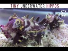 【海外発!Breaking News】カバそっくり!? インド太平洋の暖流域海底に棲む可愛いイカ<動画あり>