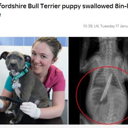 【海外発!Breaking News】キッチンナイフを飲み込んだ生後12週の子犬、摘出手術に成功(英)