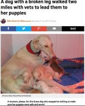 【海外発!Breaking News】骨折した足を引きずりながら 3kmも離れた仔犬のもとに辿りついた母犬(スペイン)