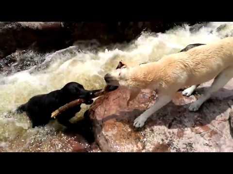 相棒の犬を懸命に救助するラブラドール犬(出典:https://www.youtube.com)