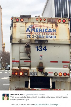 【海外発!Breaking News】ゴミ収集車にしがみつくアライグマ 11キロをヒッチハイク?(米)