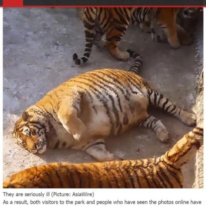 """【海外発!Breaking News】中国・繁殖基地のシベリアトラ 太りすぎて""""巨大なネコ""""に!"""