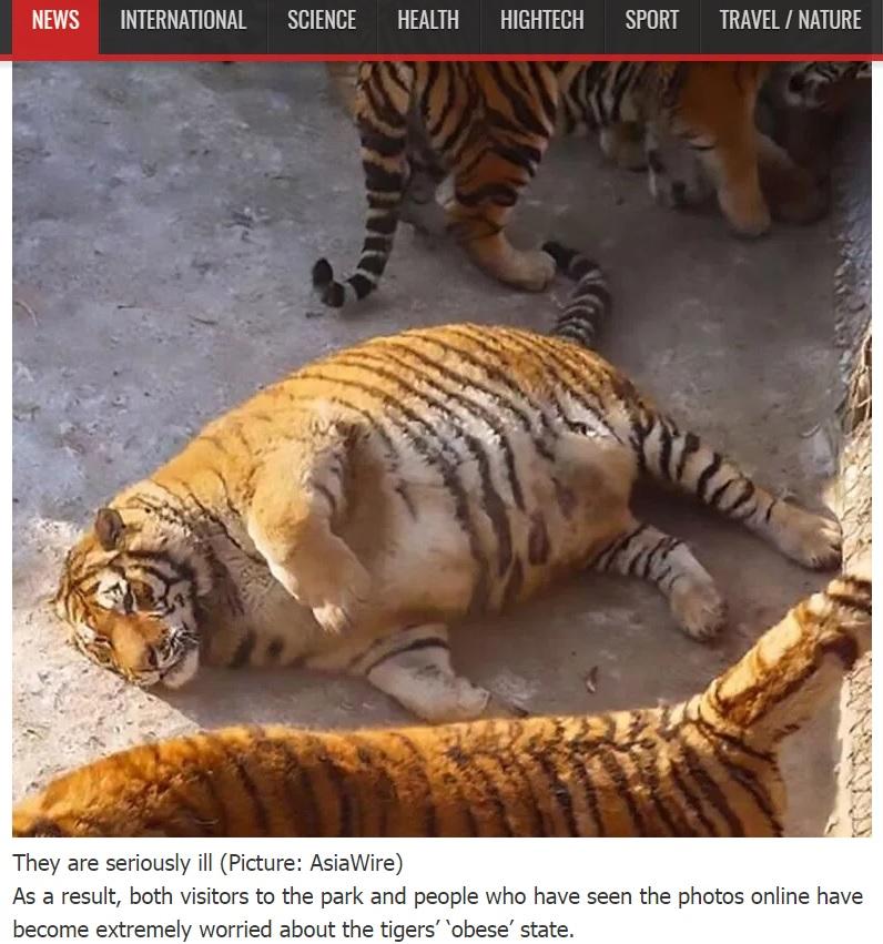 太りすぎて動けないシベリアトラ(出典:http://mediavor.com)