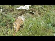 【海外発!Breaking News】シカを飲み込んだヘビ 大きすぎて?吐き出す(南ア)<動画あり>