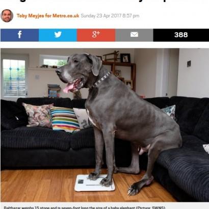 """【海外発!Breaking News】体重98キロ! イギリスで一番重い犬は""""ゾウの赤ちゃん""""並み"""