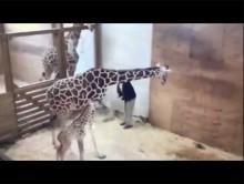 【海外発!Breaking News】母になったキリン、赤ちゃんを守ろうと獣医の股間を蹴り上げる(米)<動画あり>