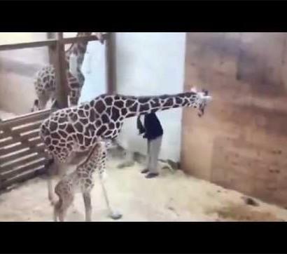 【海外発!Breaking News】母になったキリン、赤ちゃんを守ろうと獣医の股間を蹴り上げる(米)