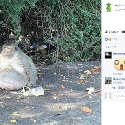【海外発!Breaking News】人間が与えたジャンクフードでメタボになった野生の猿 決死のダイエット(タイ)