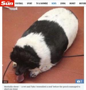 【海外発!Breaking News】「アザラシのよう」だった超肥満犬、37キロの減量に成功(スコットランド)