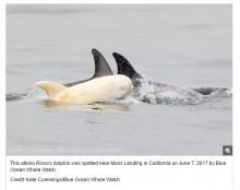【海外発!Breaking News】3歳になったアルビノのイルカ 加州モントレー湾沖で再び発見される