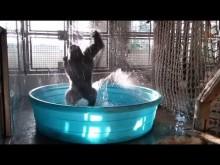 【海外発!Breaking News】キレッキレのブレイクダンスをするゴリラ(米)<動画あり>