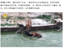 【海外発!Breaking News】生きたロバをトラの群れに投げ入れるショー 動物園に批判殺到(中国)