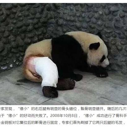 【海外発!Breaking News】後ろ足骨折が完治した中国のパンダ、写真に「パンツを脱いだ子みたい」の声も<動画あり>