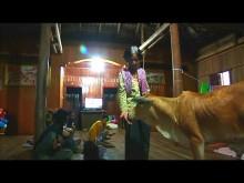 【海外発!Breaking News】生後5か月の子牛を亡き夫の生まれ変わりと信じ共に暮らす女性(カンボジア)<動画あり>