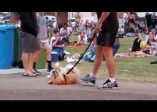 「まだ帰りたくないんだ!」公園で死んだふりをする犬(豪)<動画あり>