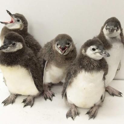 『すみだ水族館』で赤ちゃんペンギン5羽がプールデビュー 川栄李奈が名付け親の「あんこ」も