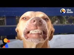 【海外発!Breaking News】歯を見せてニンマリ笑うピットブルにほっこり(米)<動画あり>