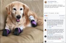 【海外発!Breaking News】ゴミ箱に捨てられたゴールデン・レトリバー、四肢切断後セラピー犬として活躍(米)