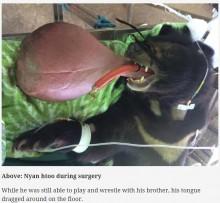 【海外発!Breaking News】3キロの巨大な舌を持つツキノワグマ 手術が無事成功(ミャンマー)