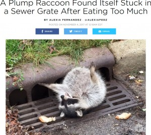 【海外発!Breaking News】食べ過ぎて膨れたお腹が下水溝にはまったアライグマ(米)