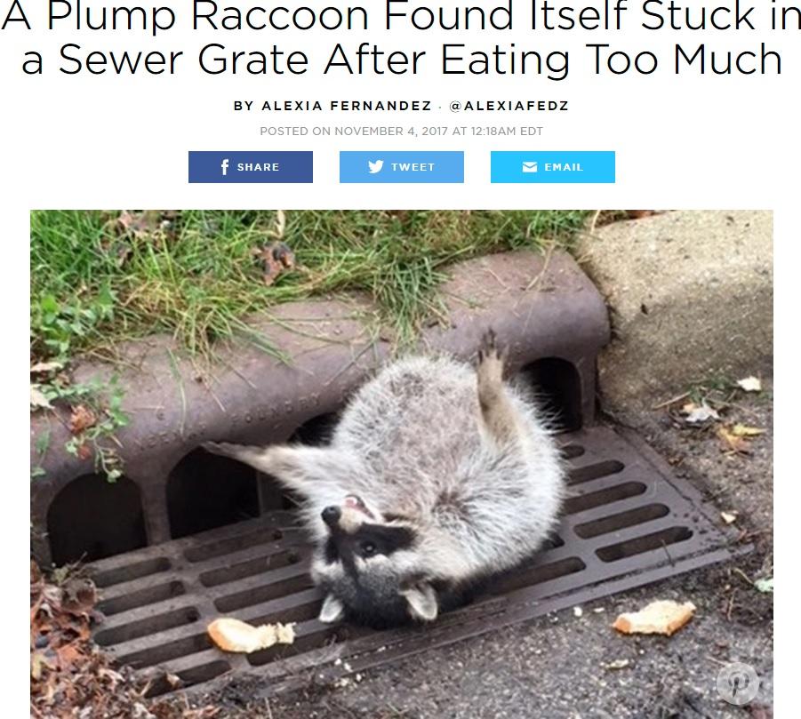 食べ過ぎてお腹が抜けないアライグマ(画像は『People 2017年11月4日付 A Plump Raccoon Found Itself Stuck in a Sewer Grate After Eating Too Much』のスクリーンショット)