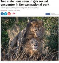 【海外発!Breaking News】交尾をする2頭の雄ライオンに「同性愛者の誇り」の声(ケニア)
