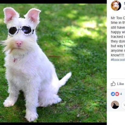 【海外発!Breaking News】日焼け止めとサングラスが必須のアルビノ犬、SNSで人気上昇中(豪)<動画あり>