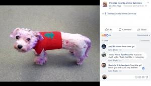 3か月の集中治療のおかげで、回復に向かって来たバイオレット(画像は『Pinellas County Animal Services 2017年12月1日付Facebook』のスクリーンショット)