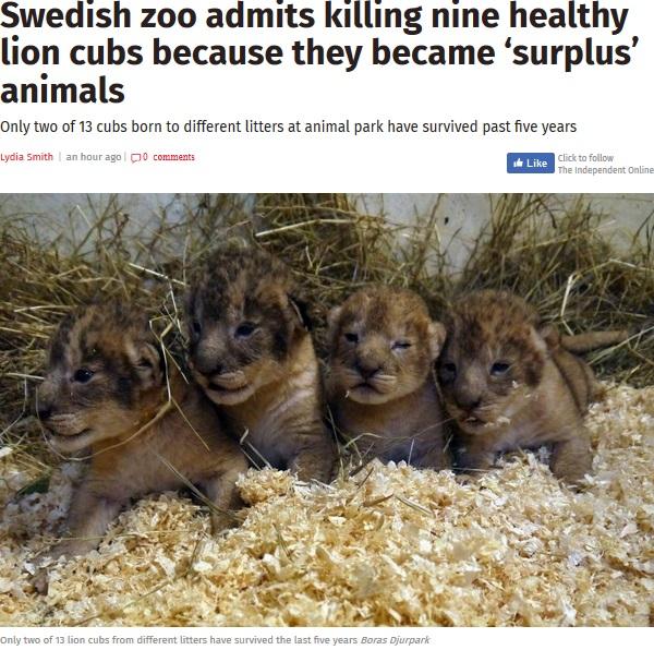 スウェーデンの動物園で健康な子ライオン9頭が安楽死(画像は『The Independent 2018年1月12日付「Swedish zoo admits killing nine healthy lion cubs because they became 'surplus' animals」(Boras Djurpark)』のスクリーンショット)