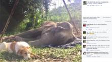 【海外発!Breaking News】瀕死のゾウに寄り添って愛を届けた犬(タイ)